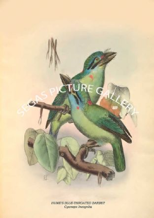 HUME'S BLUE-THROATED BARBET - Cyanops Incognita